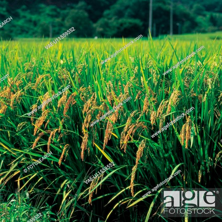 Stock Photo: rice field, rice, landscape, scenery, ricefield, country.