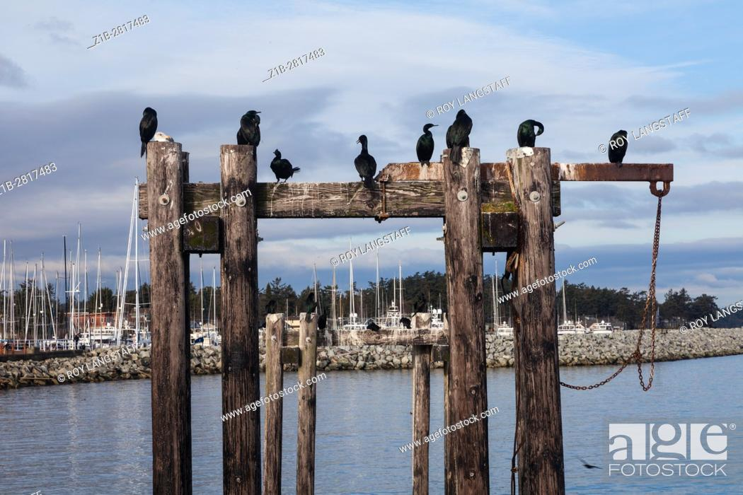 Imagen: Cormorants and a lone Seagull on wooden pilings.