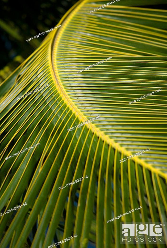 Stock Photo: Hawaii, Closeup of a green palm leaf.