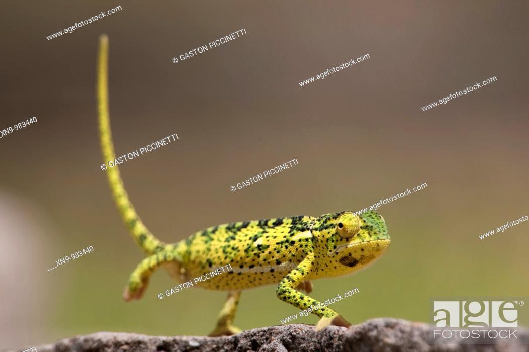 Stock Photo: Common Chameleon Chamaeleo chamaeleon, Etosha National Park, Namibia.
