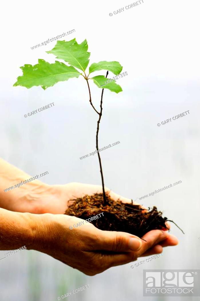Stock Photo: a person holding an oak tree seeding in cupped hands.