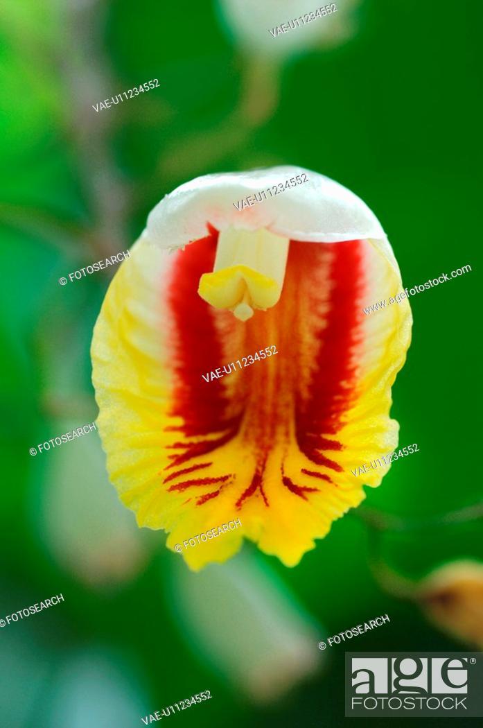 Stock Photo: Shell ginger.
