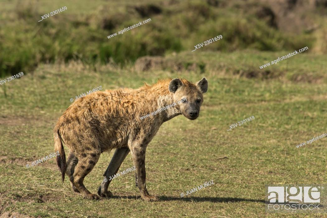 Stock Photo: Spotted Hyena. Crocuta crocuta. Masai Mara NP.