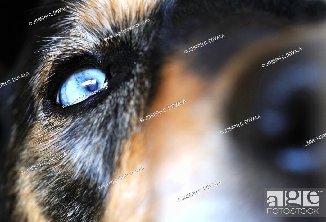 Stock Photo: Blue eyed sheppard mix dog.