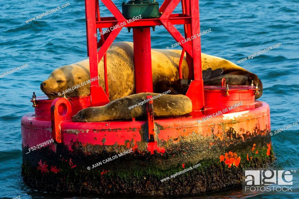 Imagen: Steller sea lion (Eumetopias jubatus) also known as the northern sea lion and Steller's sea lion), California, Usa, America.