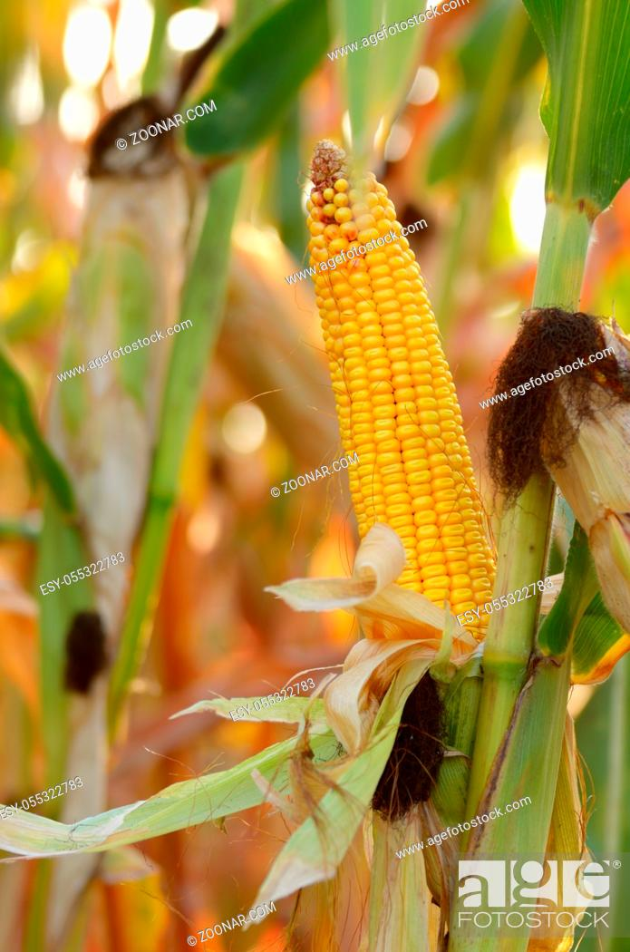 Stock Photo: Backlit Ripe Corn of Maize on stalks at the field ready for harvest.
