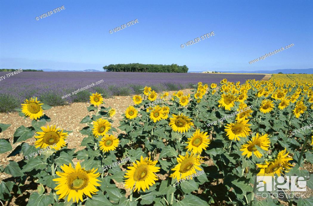 Stock Photo: France, Europe, Holiday, Landmark, Provence, Sunflowers, Tourism, Travel, Vacation,.