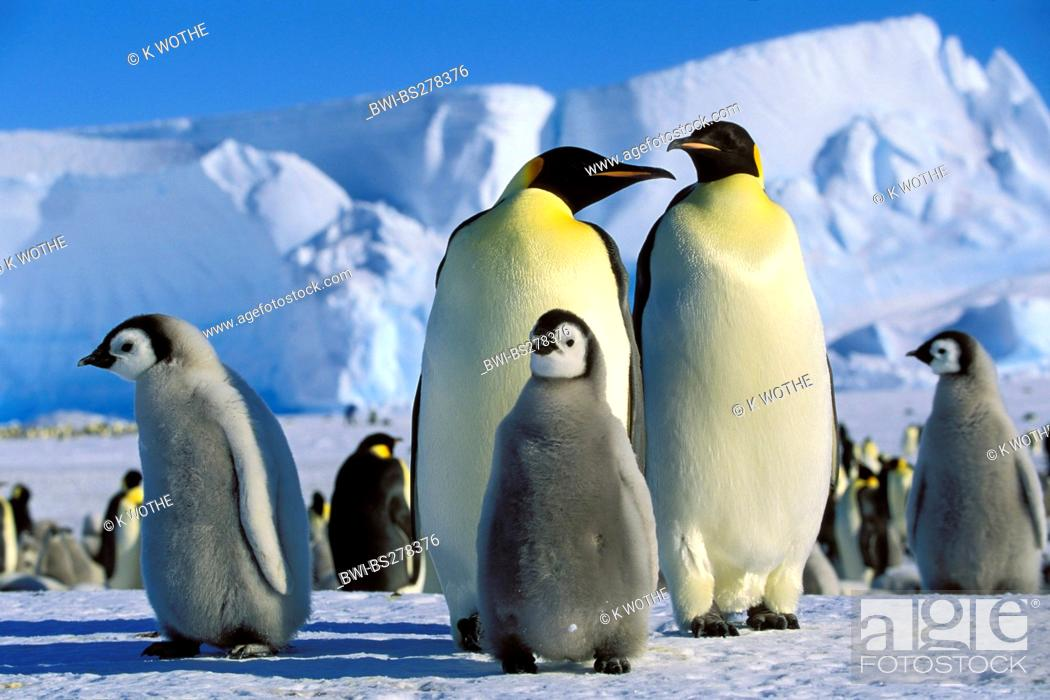 Imagen: Emperor penguin Aptenodytes forsteri, Emperor Penguins with chicks, Antarctica.