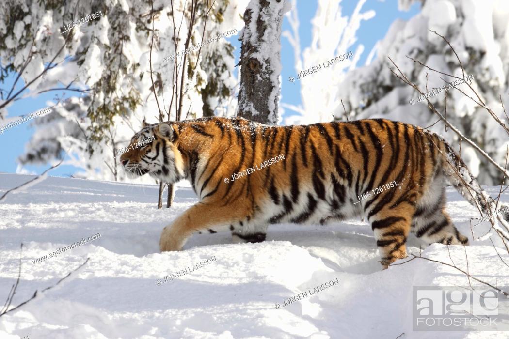 Stock Photo: Siberian tiger / Amurtiger Panthera tigris altacia Dalarna Sweden.