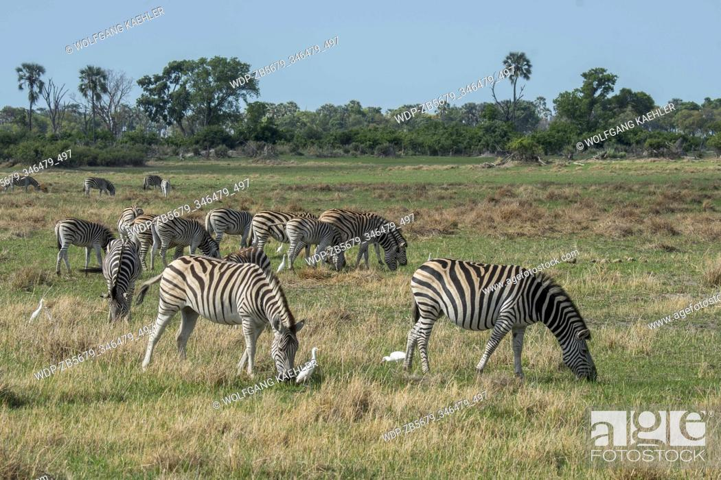 Stock Photo: Plains zebras (Equus quagga, formerly Equus burchellii) grazing on the floodplains, surrounded by Cattle egrets (Bubulcus ibis) looking for insects.