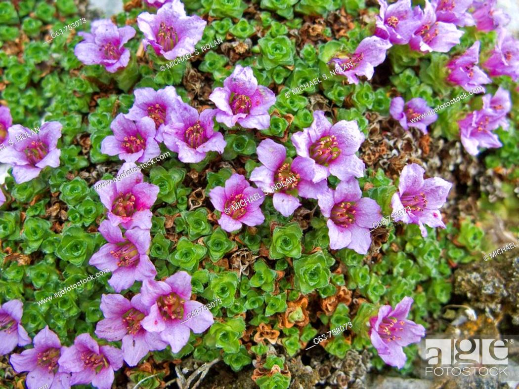 Stock Photo: A close-up look at purple mountain saxifrage Saxifraga oppositifolia in the late springtime in southeast Alaska, USA  Pacific Ocean.