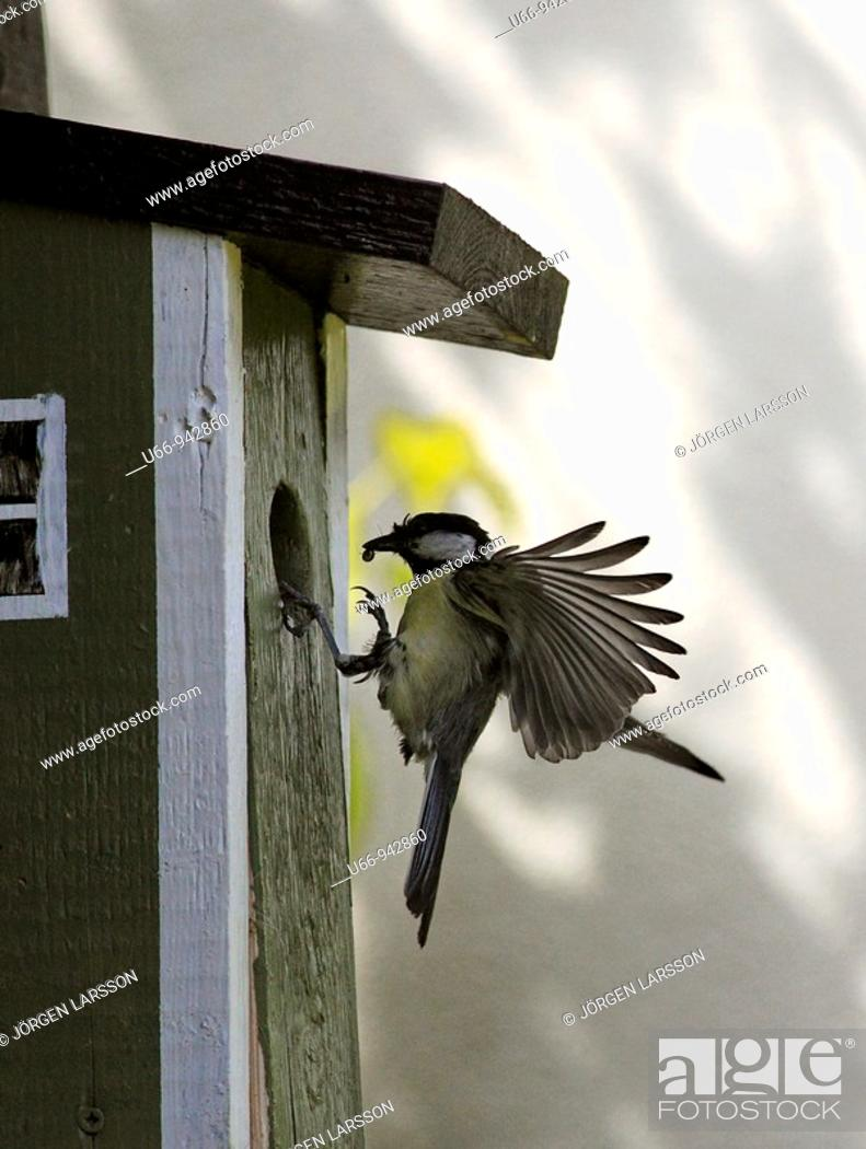 Stock Photo: Great Tit, Sweden.