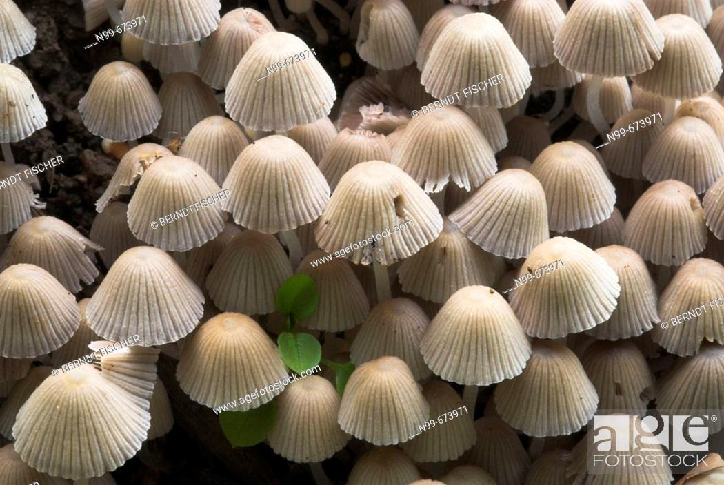 Stock Photo: Fairy Inkcap (Coprinus disseminatus), caps, appearance of Inkcap in masses, autumn, Franconia, Bavaria, Germany.