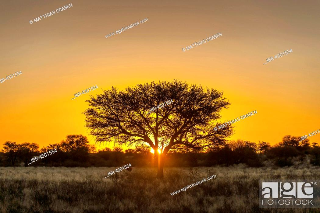 Stock Photo: Camel thorn (Vachellia erioloba) at sunset, Nossob Road, Kgalagadi Transfrontier Park, Northern Cape, South Africa.