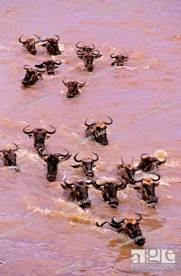 Stock Photo: Wildebeest - crossing river on migration (Connochaetes taurinus).