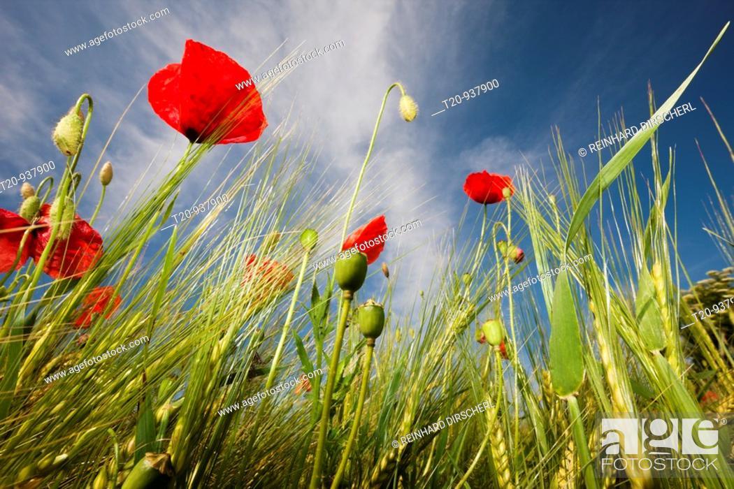 Stock Photo: Red Poppy in Corn Field, Papaver rhoeas, Munich, Bavaria, Germany.