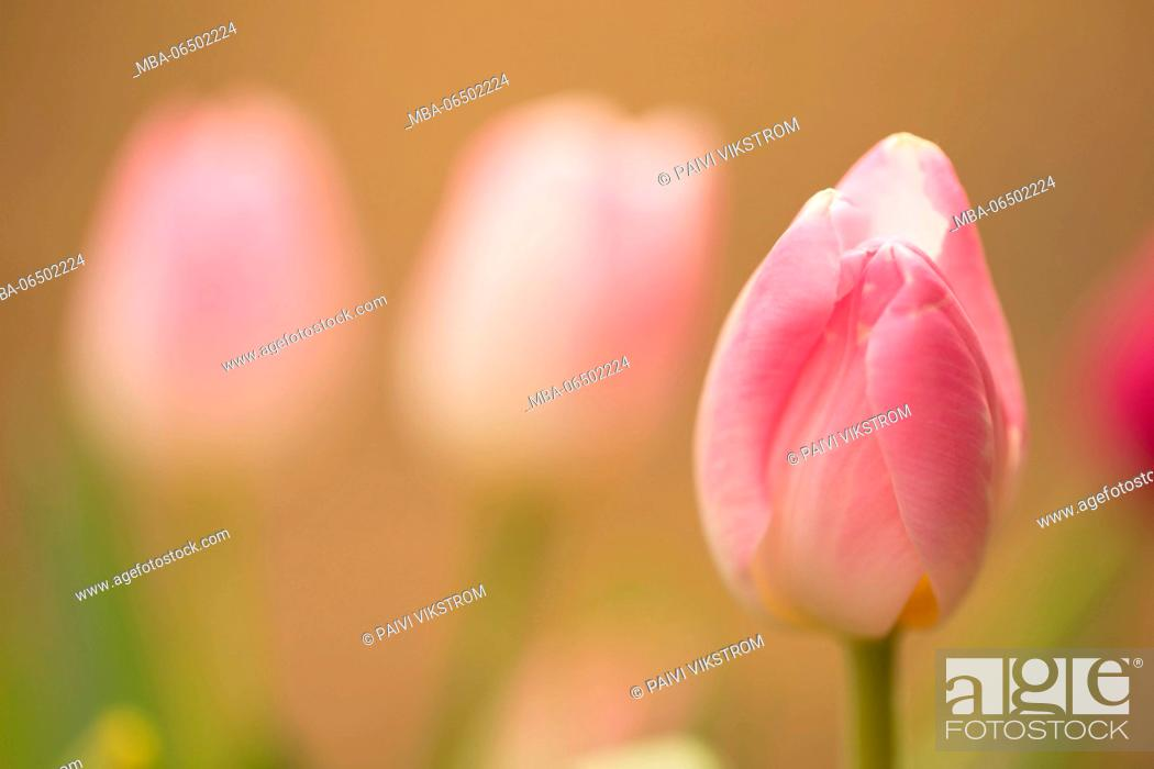 Stock Photo: Delicate pink tulips in springtime.