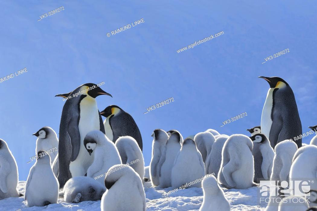 Imagen: Emperor penguins, Aptenodytes forsteri, Penguin Colony with Adults and Chicks, Snow Hill Island, Antartic Peninsula, Antarctica.