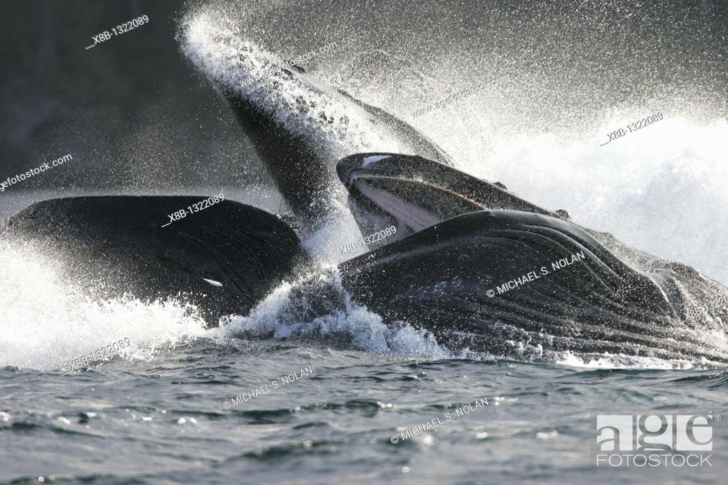 Stock Photo: Adult Humpback Whales Megaptera novaeangliae cooperative bubble-net feeding for herring in Iyoukeen Bay, Chichagof Island, Southeast Alaska.