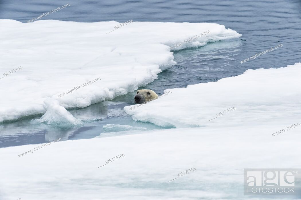 Imagen: Polar Bear (Ursus maritimus) swimming through pack ice, Svalbard Archipelago, Norway.