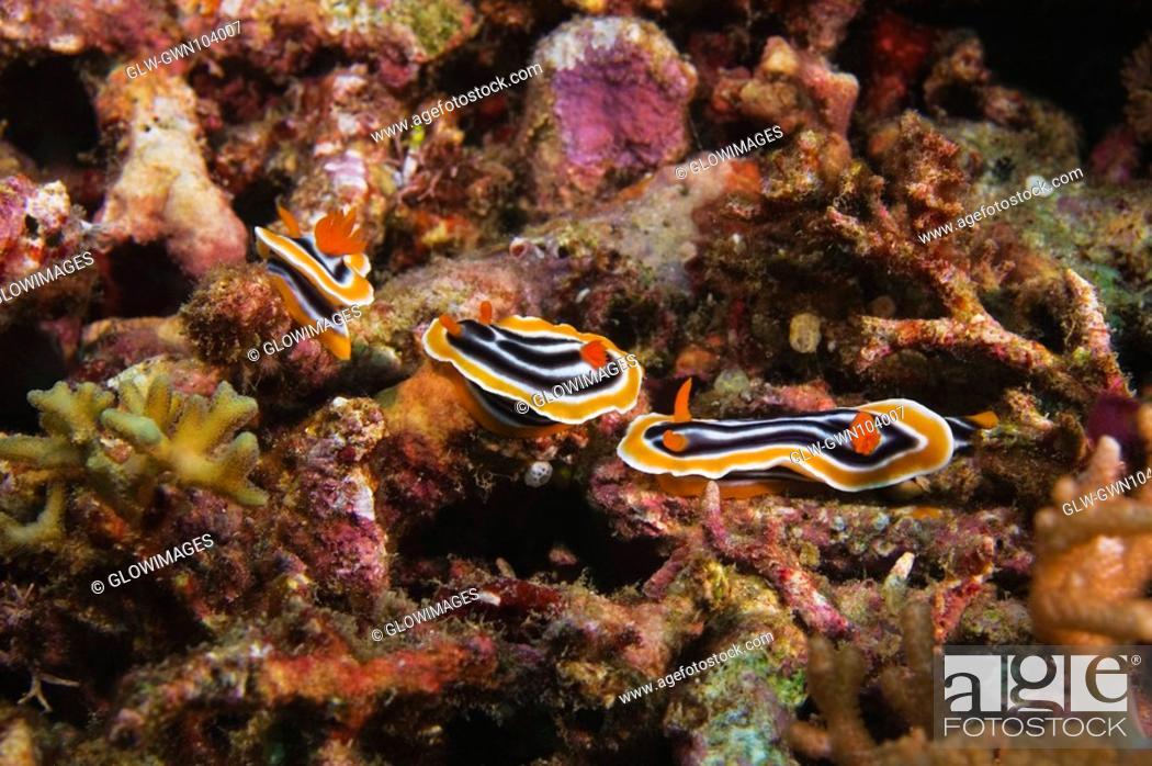 Stock Photo: Three Nudibranches swimming underwater, Papua New Guinea.