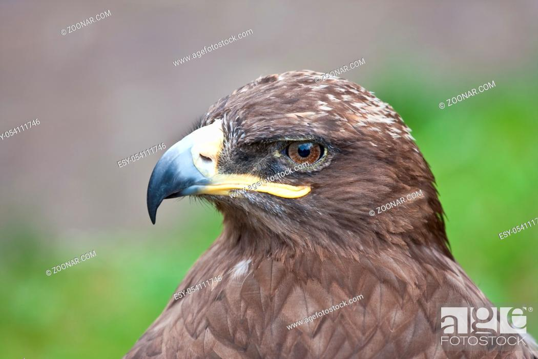 Stock Photo: Profile of a hawk, watching for prey.
