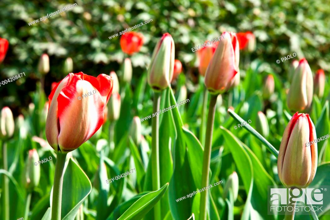 Stock Photo: Spring tulips impregnated by the sun.