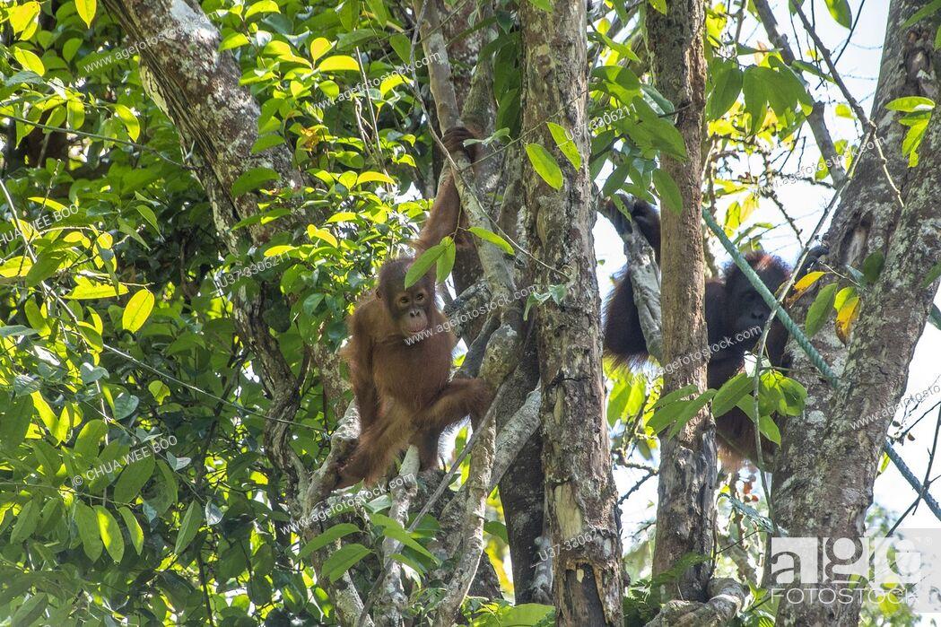 Stock Photo: A Mother and Baby Orangutan ( Pongo pygmaeus ) Hanging on a Rope in Semengoh Rehabilitation Center, Kuching, Sarawak, Borneo, Malaysia.