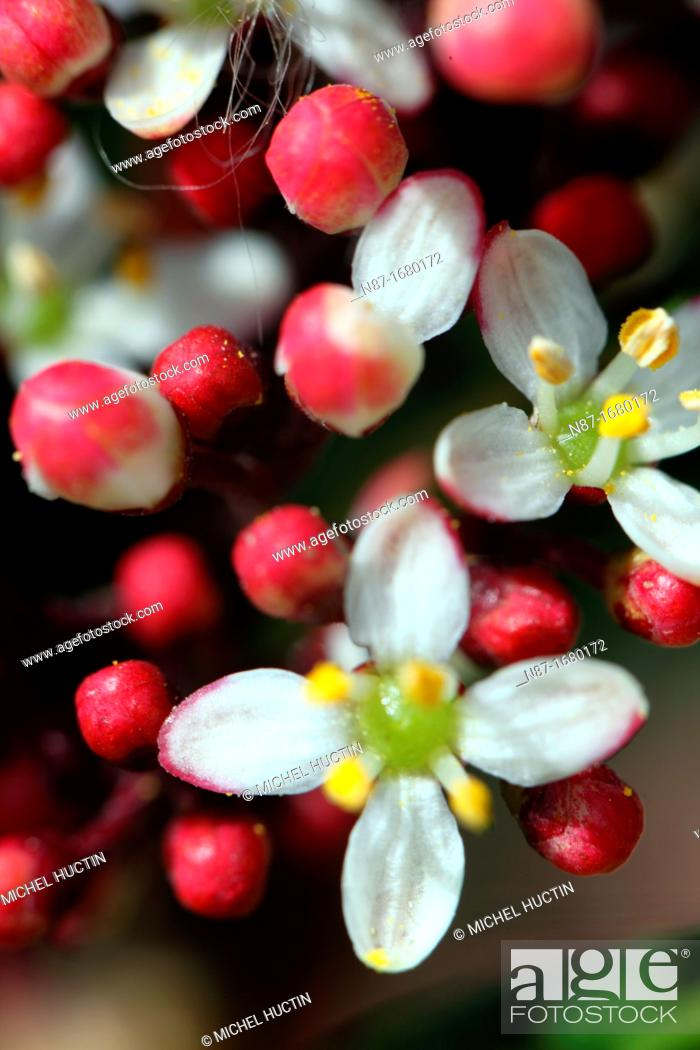 Stock Photo: Skimia japonica flowers and flower buds.