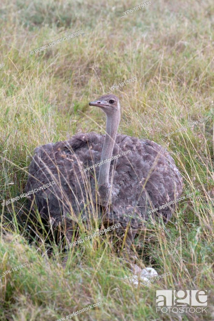 Stock Photo: female Ostrich Struthio camelus sitting on nest, Masai Mara, Kenya.