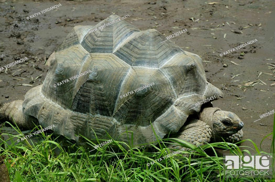 Stock Photo: Giant tortoise.
