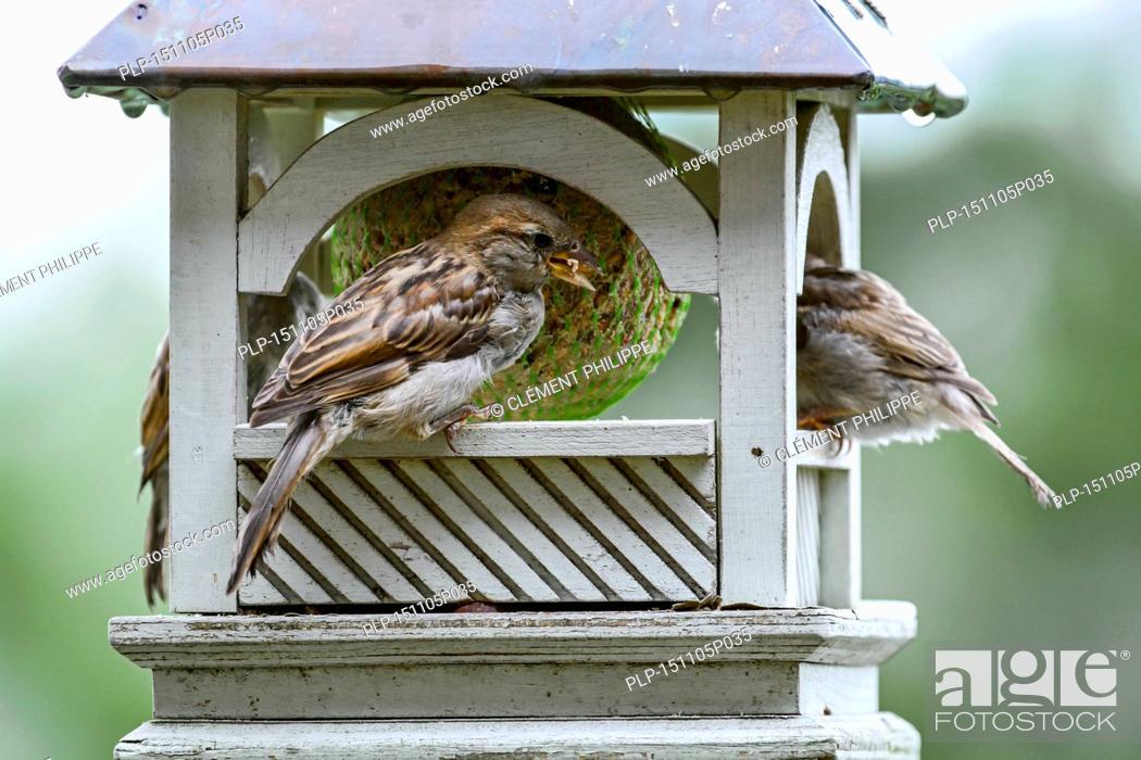 Stock Photo: House sparrows (Passer domesticus) on garden bird feeder eating from fat ball.