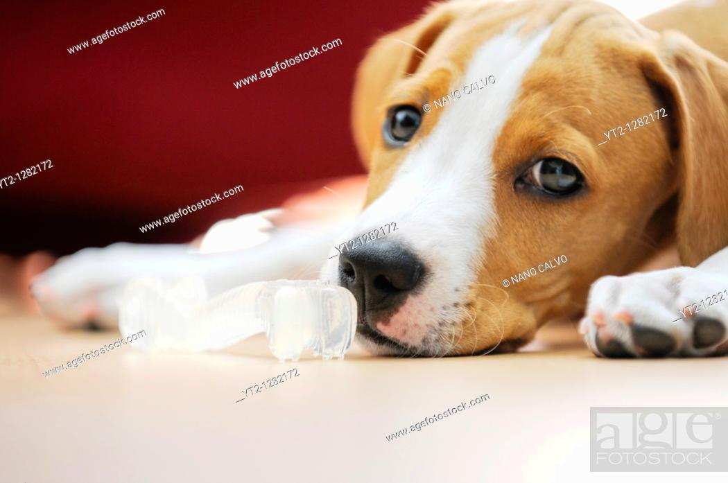 Stock Photo: Portrait of Ronnie, a 2 months old puppy.