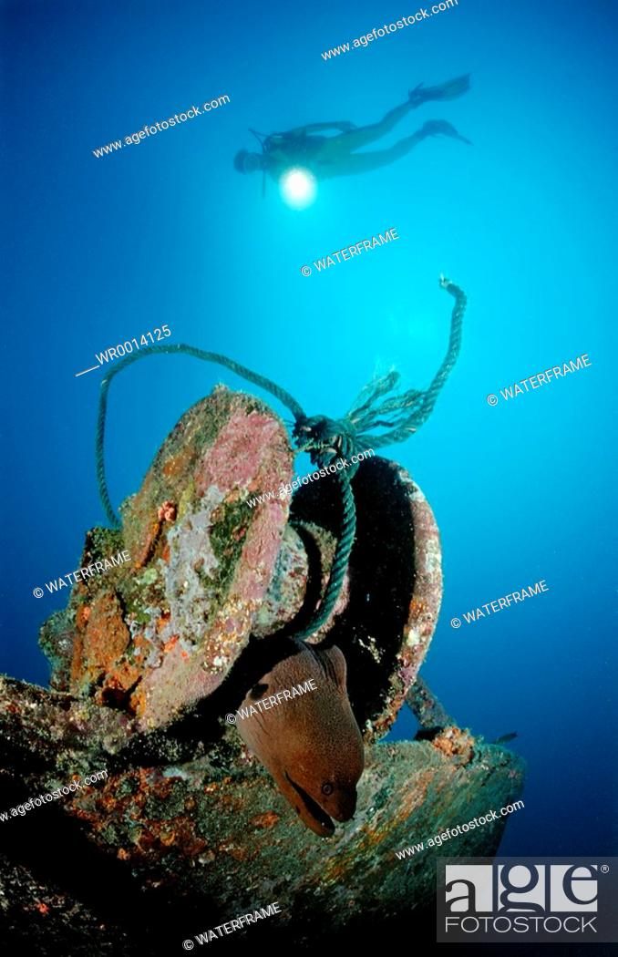Stock Photo: Diver observe Moray, Gymnothorax javanicus, Indian Ocean, Maldives Island.