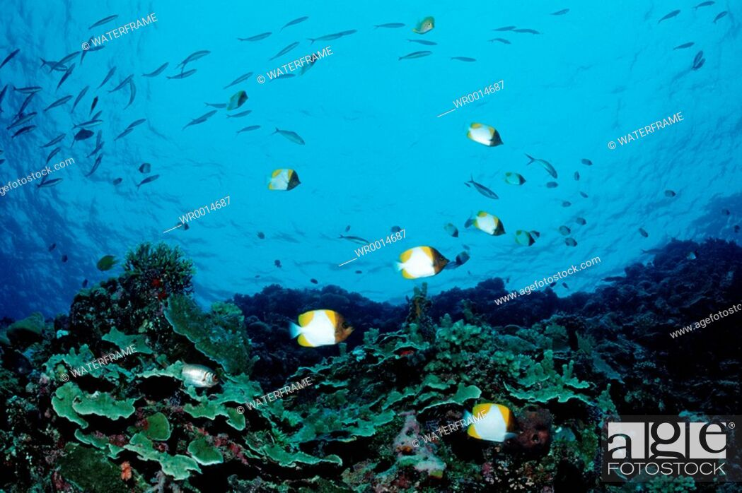 Stock Photo: Pyramid Butterflyfishes over Coral Reef, Hemitaurichthys polyepis, Pacific, Micronesia, Palau.