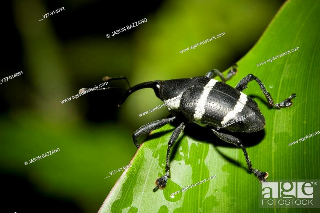 Stock Photo: Black and white striped weevil, order Coleoptera, family Curculionidae  Photographed in the mountains of Costa Rica.