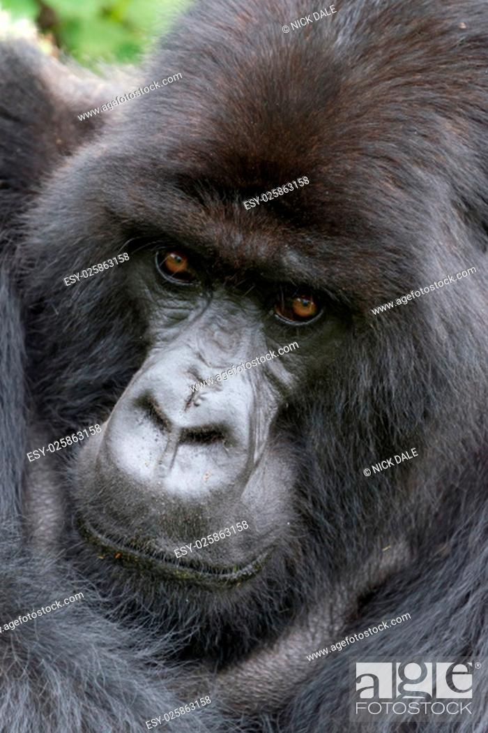 Stock Photo: A male silverback gorilla is looking straight at the camera with his arm over his shoulder. Behind his head and shoulders can be seen part of the green canopy.