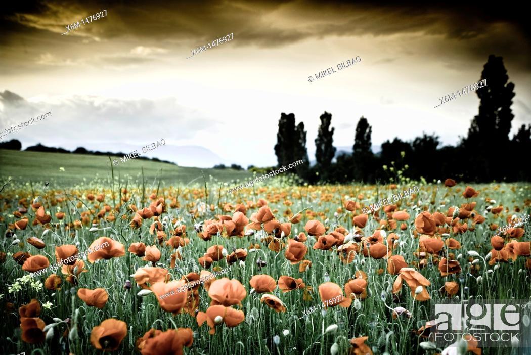 Stock Photo: corn poppy, corn rose, field poppy, Flanders poppy, or red poppy Papaver rhoeas  Ayegui ,Navarre, Spain, Europe.