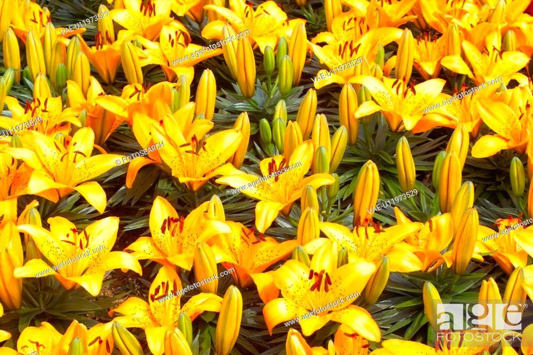 Stock Photo: plants, spring, lily, lilium, flower, flowers, plant.