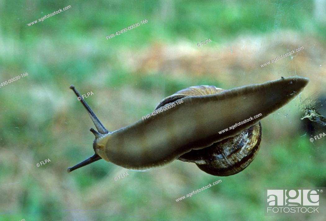 Stock Photo: Common Snail Helix aspersa On glass of greenhouse viewed from underside.