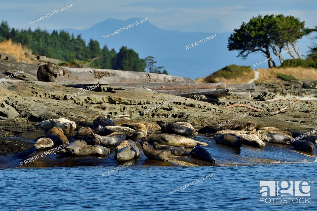 Imagen: A herd of harbor seals (Phoca vitulina); lays basking in the warm sunlight on a secluded island beach near Vancouver Island British Columbia Canada.