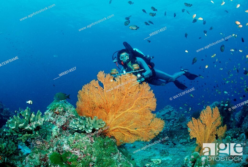 Stock Photo: Diver and Gorgonian Fan, Similan Islands Andaman Sea, Thailand.