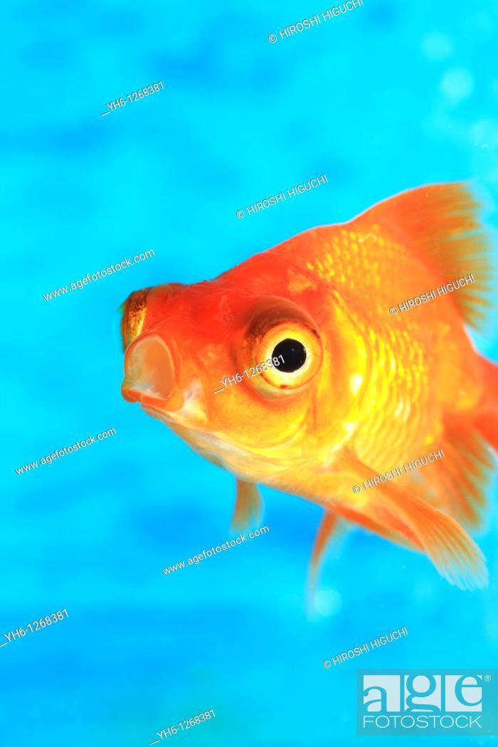 Stock Photo: Goldfish, Fukushima, Japan.