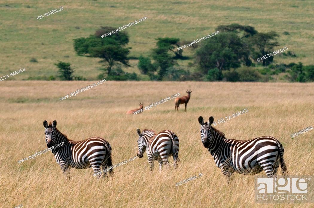 Stock Photo: Common Zebra (Equus quagga), Masai Mara National Reserve, Kenya.
