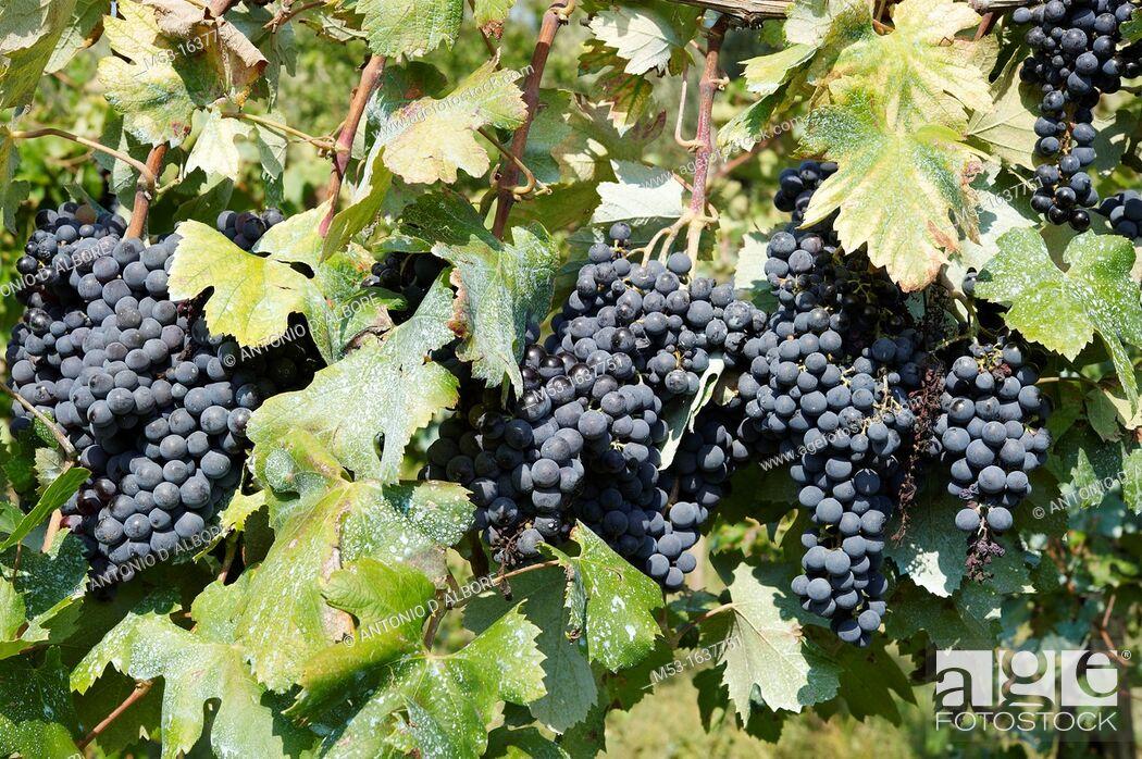 Stock Photo: Bunch of ripe black grapes.