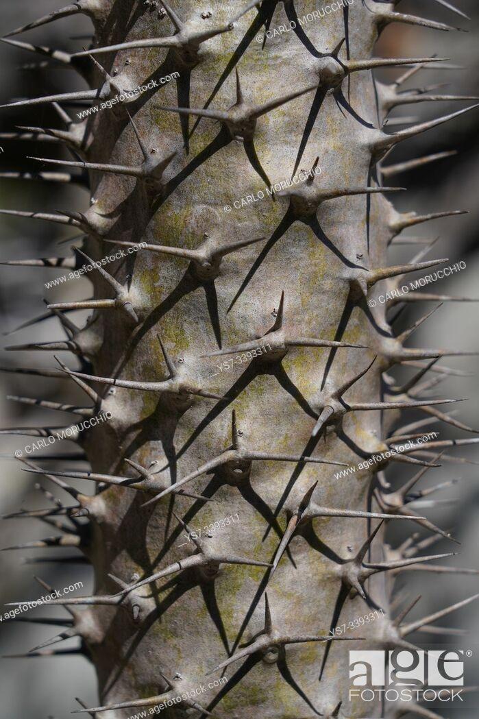 Stock Photo: Euphorbia plant at Small Tsingy, Tsingy de Bemaraha National Park, Melaky Region, Western Madagascar.