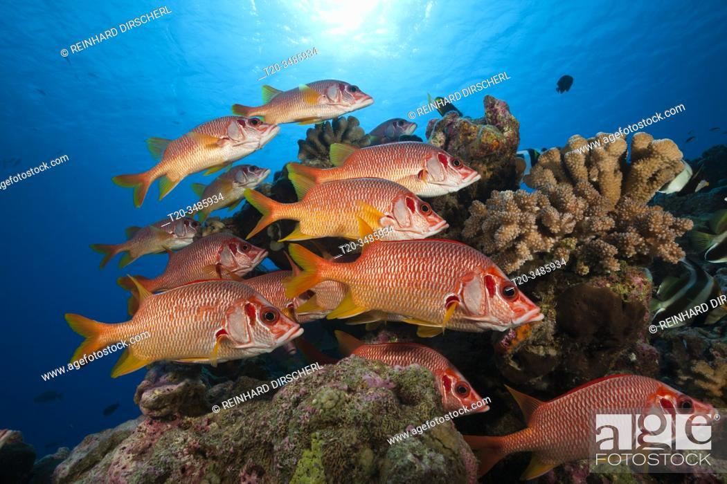 Imagen: Shoal of Longjawed Squirrelfish, Ahe Atoll, Tuamotu Archipel, French Polynesia.