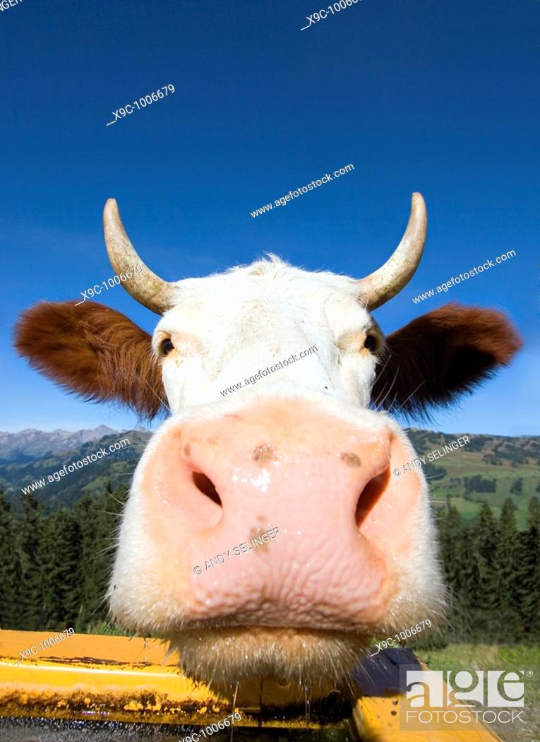 Stock Photo: Close up of a Cow.