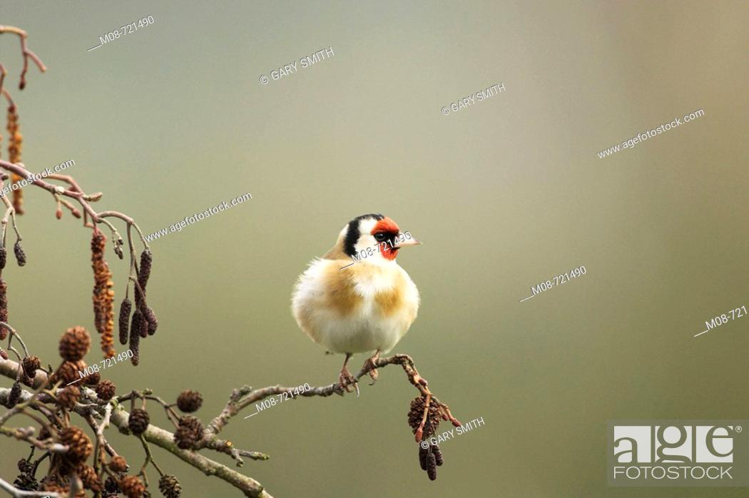 Stock Photo: Goldfinch, Carduelis Carduelis, perched on Alder, Norfolk, UK, March.