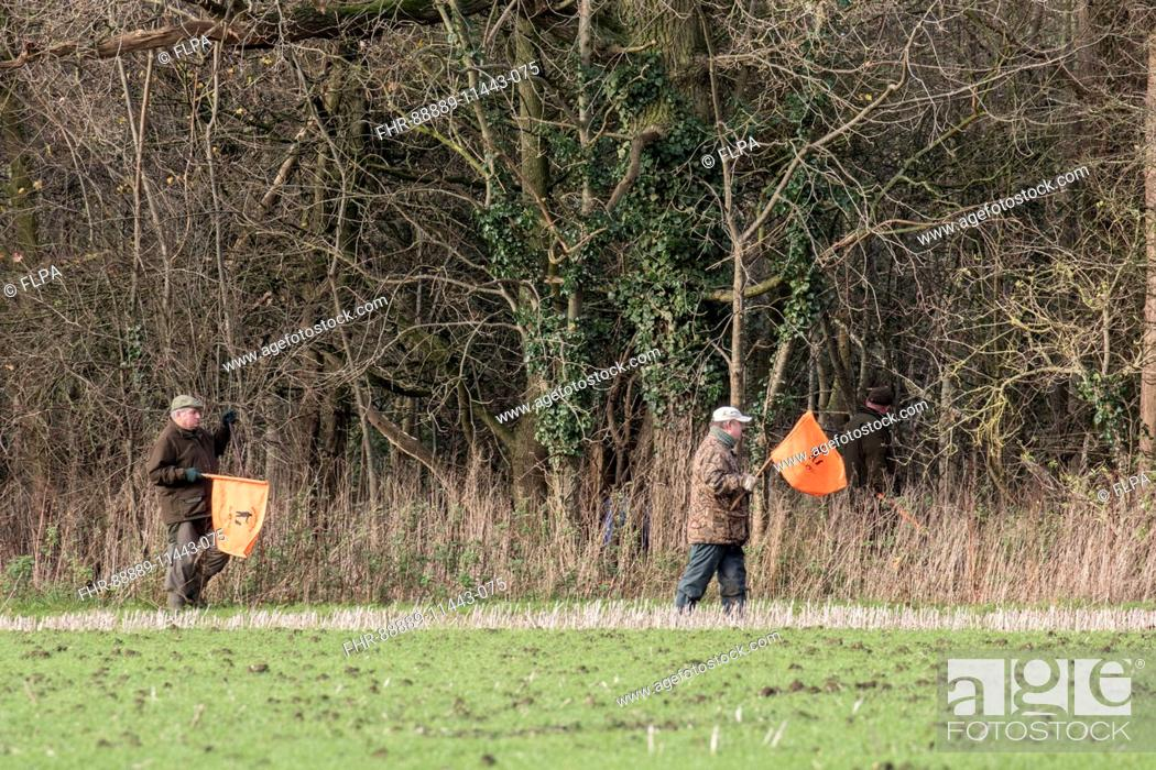 Imagen: Beaters waving flags to move pheasants forward on shoot day, Boulge Suffolk.